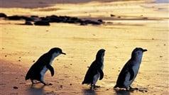 Penguin Parade on Philip Island